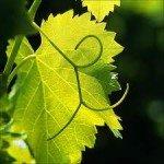 vigne-150x150